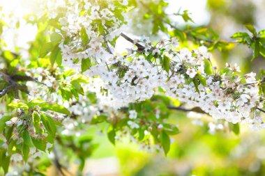 Blooming cherry blossom. Spring flower in garden.