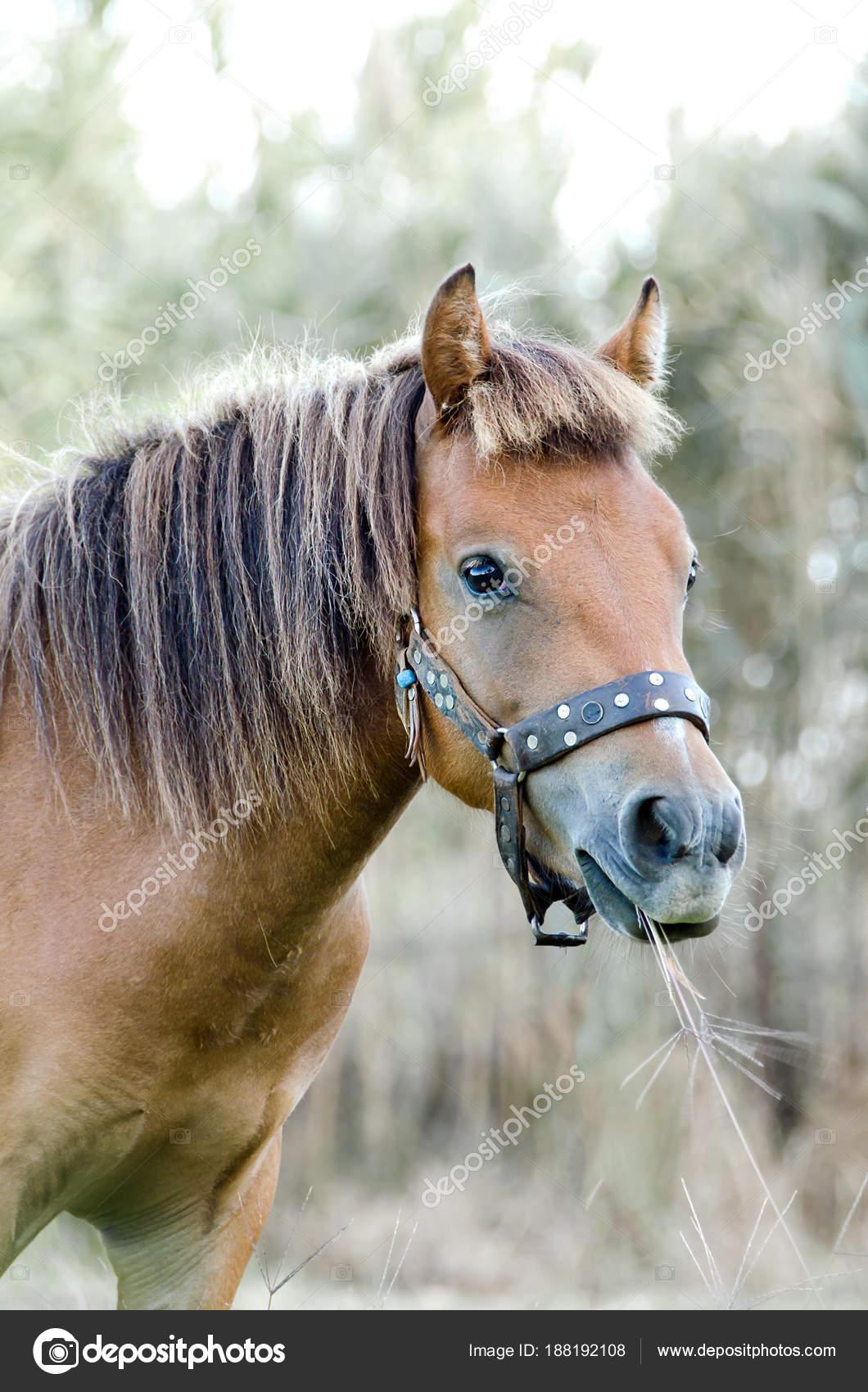 Small Body Greek Skyrian Horse One Rarest Horse Breeds World Stock Photo C Giannikosimages 188192108