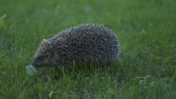 Kis sündisznó zöld fűben. Közelről. A vadon élő állatok természetének fogalma