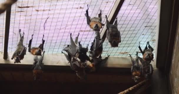 Gruppe grauköpfiger Flughunde, die kopfüber hängen. Bmpcc 4k