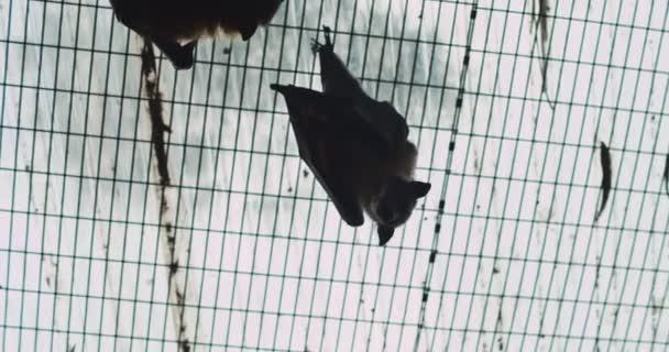 Grauköpfige fliegende Fuchsfledermaus, die kopfüber hängt und Bananen isst. Bmpcc 4k