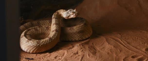 A szarvas vipera kígyó egyenesen előre néz és kinyitja a száját. Más néven az oldalsó tekercs (Crotalus cerastes), ez egy mérges gödör vipera faj. Lassú mozgás, BMPCC 4K.