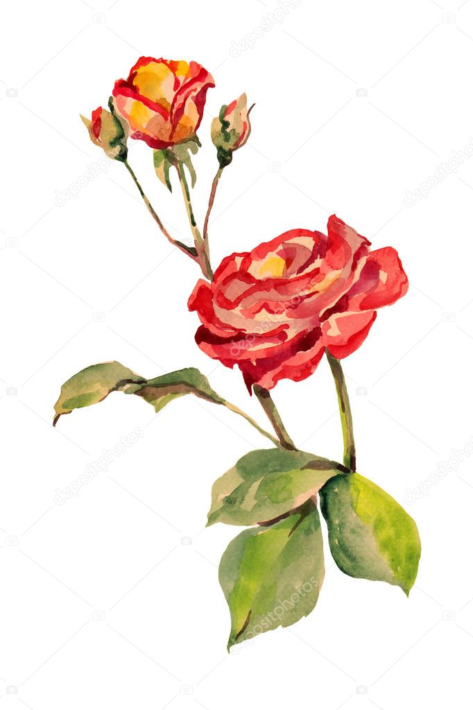 Watercolor red rose with bud on a white background.  Floral illustration for desing.