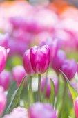 tulipány v Květné zahradě