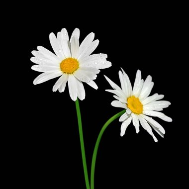 Beautiful chamomile flower isolated on a black background