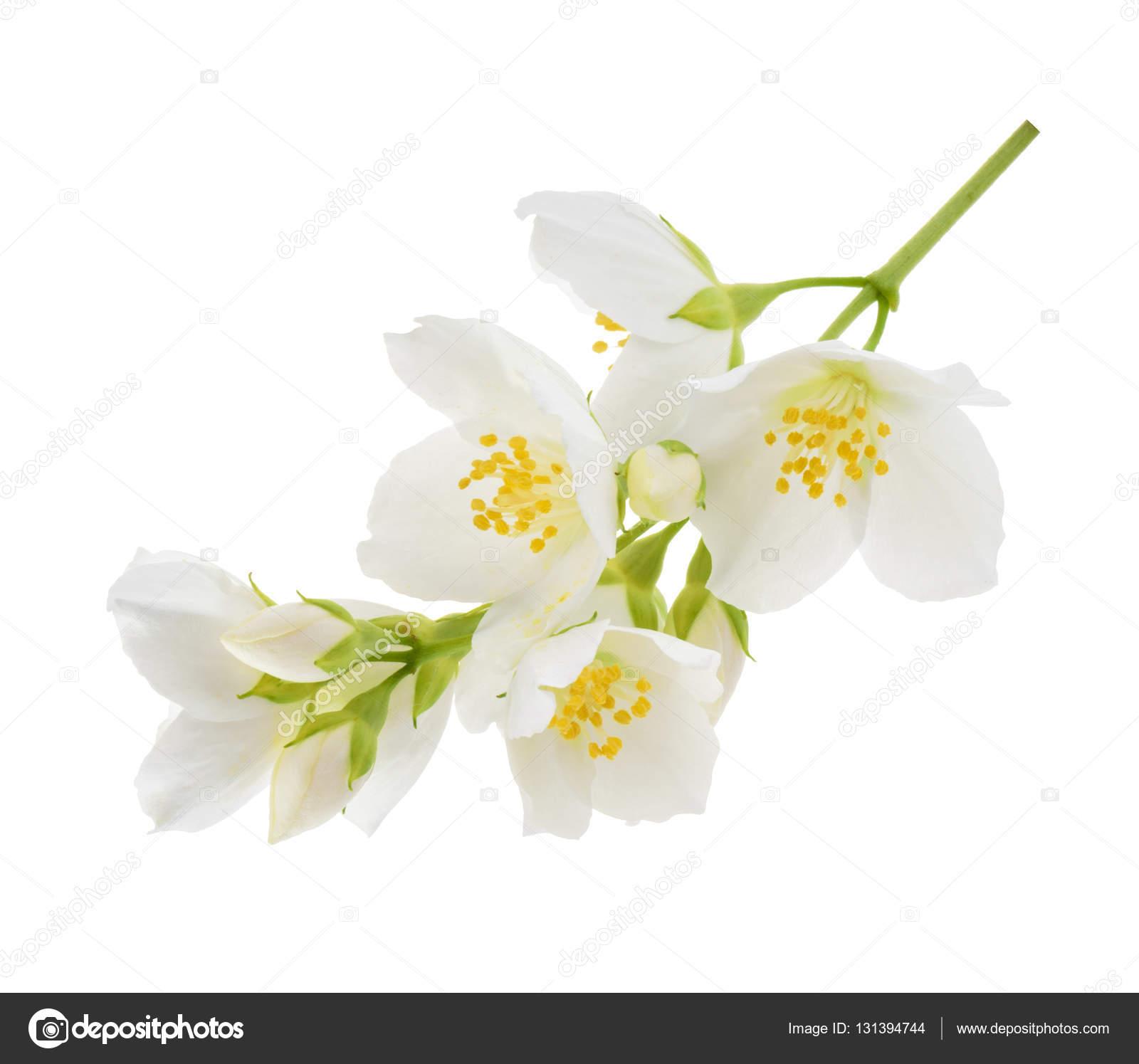 Jasmine flower isolated on white stock photo ovydyborets 131394744 jasmine flower isolated on white stock photo izmirmasajfo Gallery