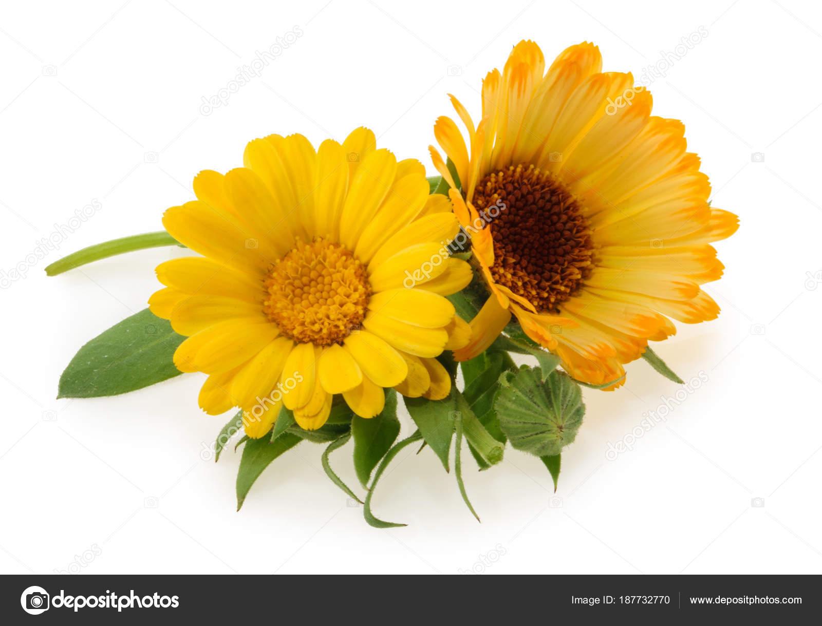 Marigold flowers isolated on white stock photo ovydyborets marigold flowers isolated on white stock photo mightylinksfo