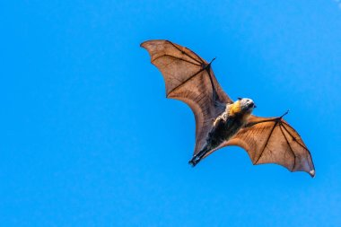 Isolated fruit bat, flying fox, on a blue sky background