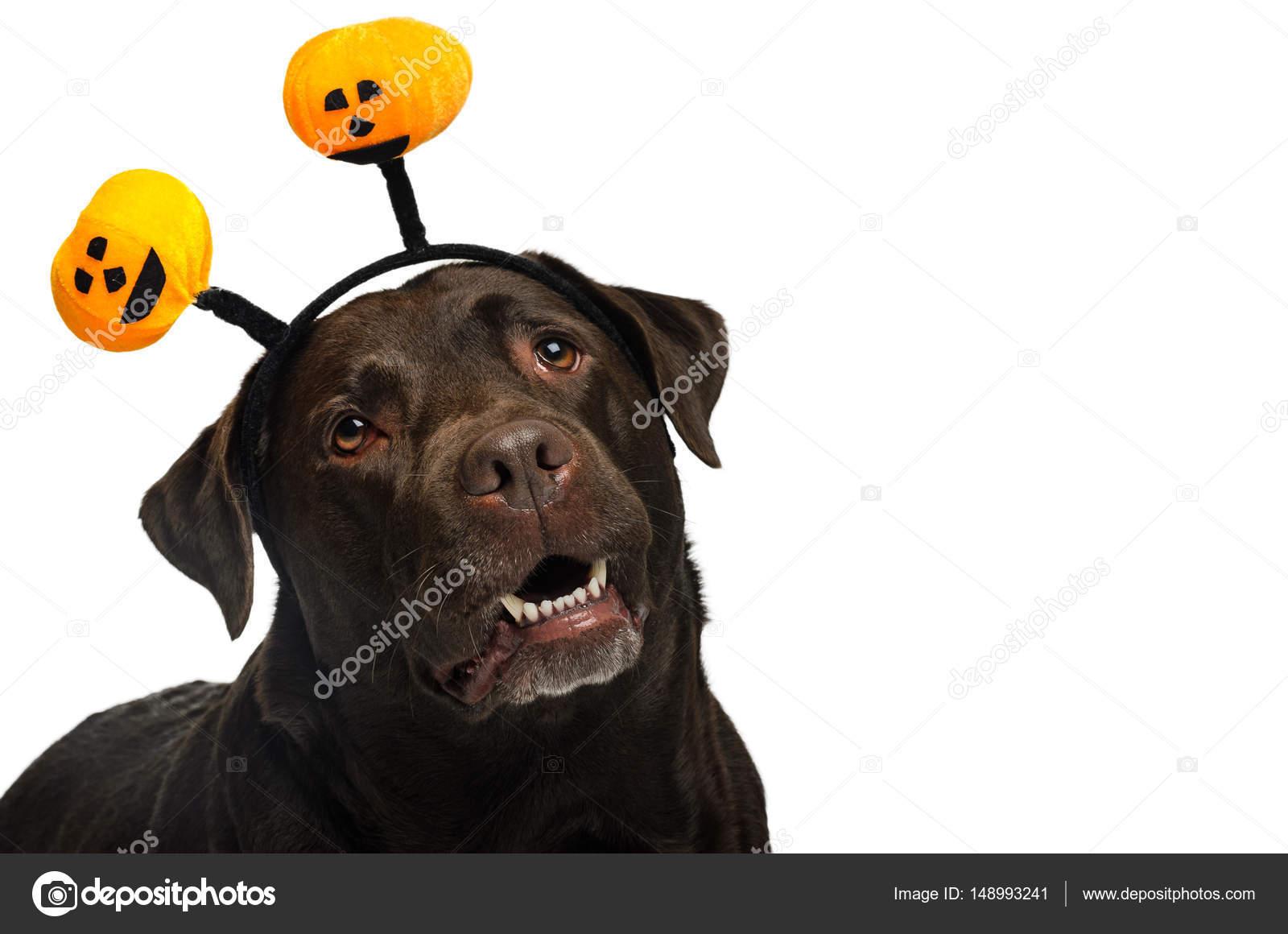 Hund Mit Halloween Kostum Stockfoto C Mirekpesek Yahoo Com 148993241