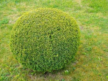 Box tree ball on a meadow