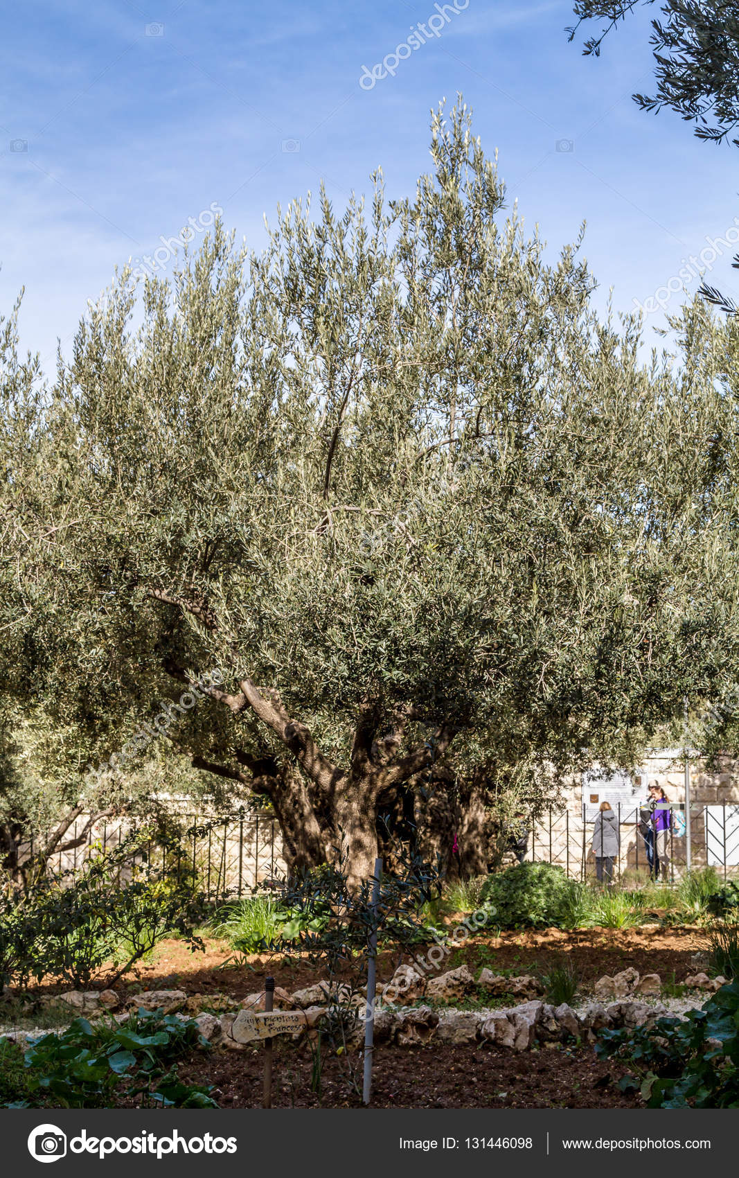 Old olive trees in the Garden of Gethsemane – Stock Editorial Photo ...