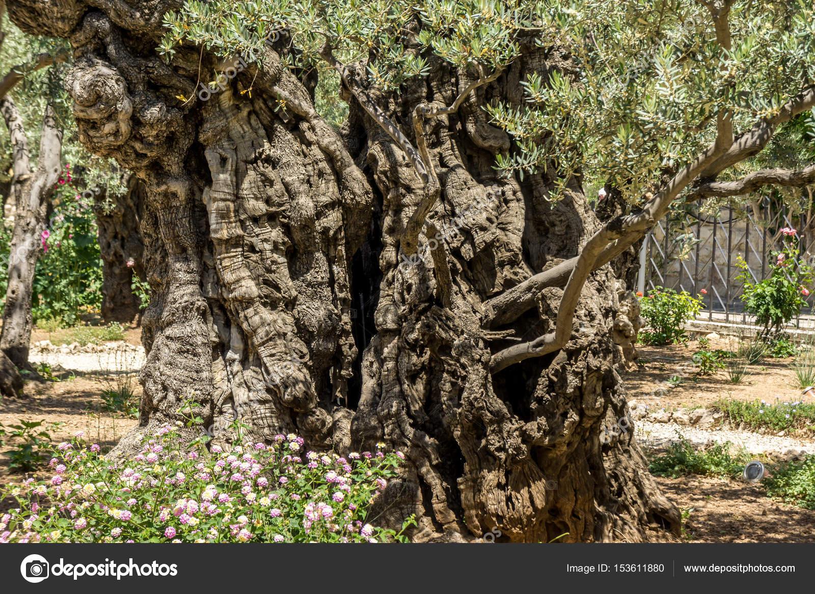 The Garden of Gethsemane in Jerusalem, Israel — Stock Photo ...