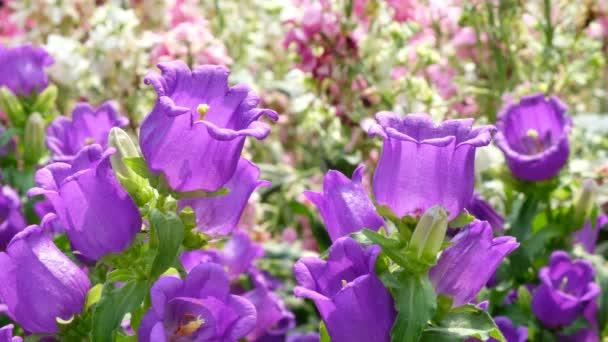 Květy fialové Canterburské zvony
