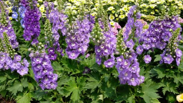 Delphinium, Kerze Delphinium lila Blumen blühen im Garten