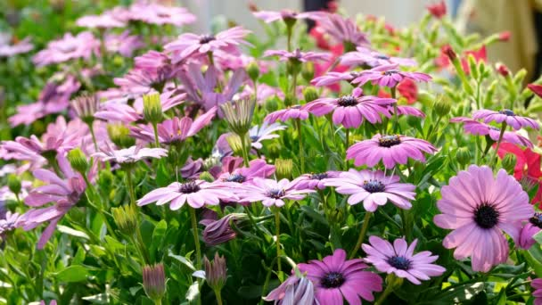 Purple Osteosperumum Flower Daisy