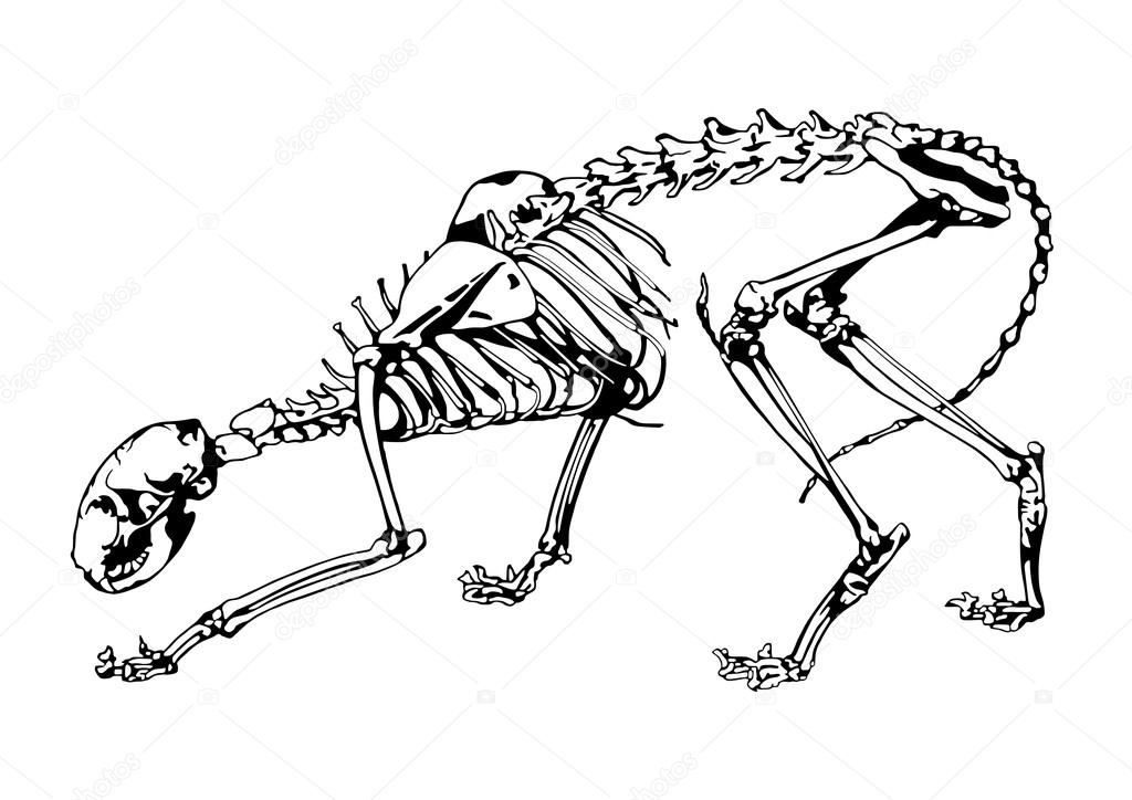 Cat Skeleton Anatomy Stock Vector Vlad210498 127365144