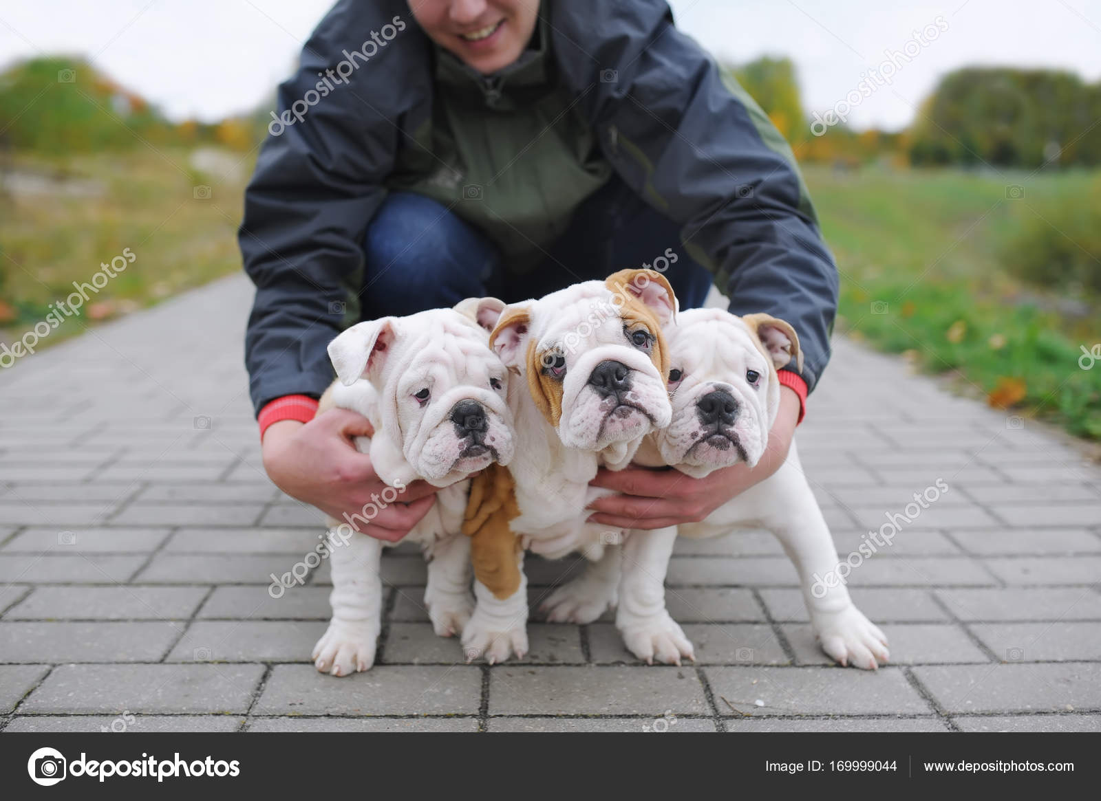 English Bulldog Puppy The Owner Embraces Three Cute Puppies Of A Bulldog Outdoors Stock Photo C Avk78 169999044