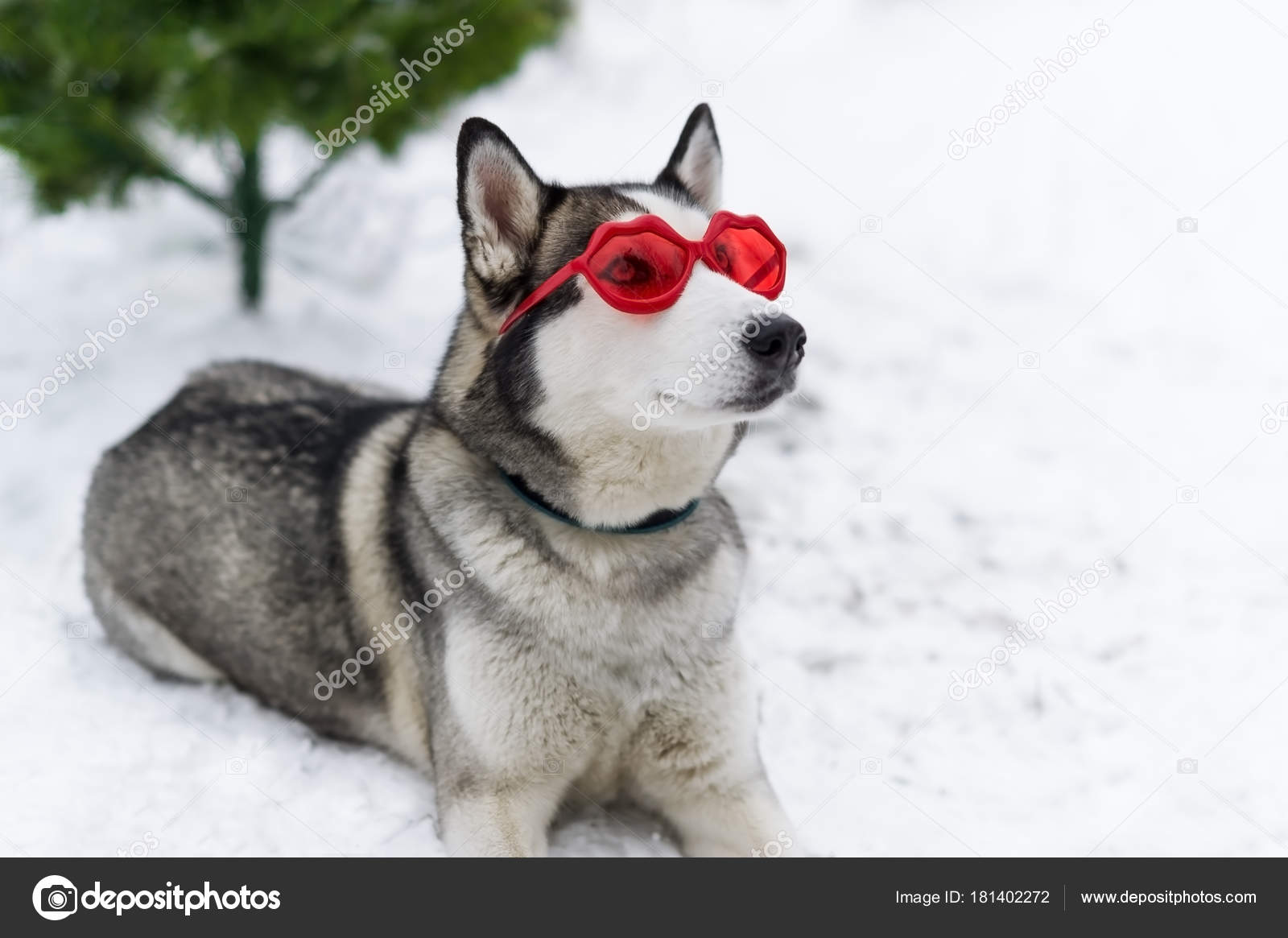 Cute Huskies Dog With Red Glasses On The Eyes Stock Photo C Avk78