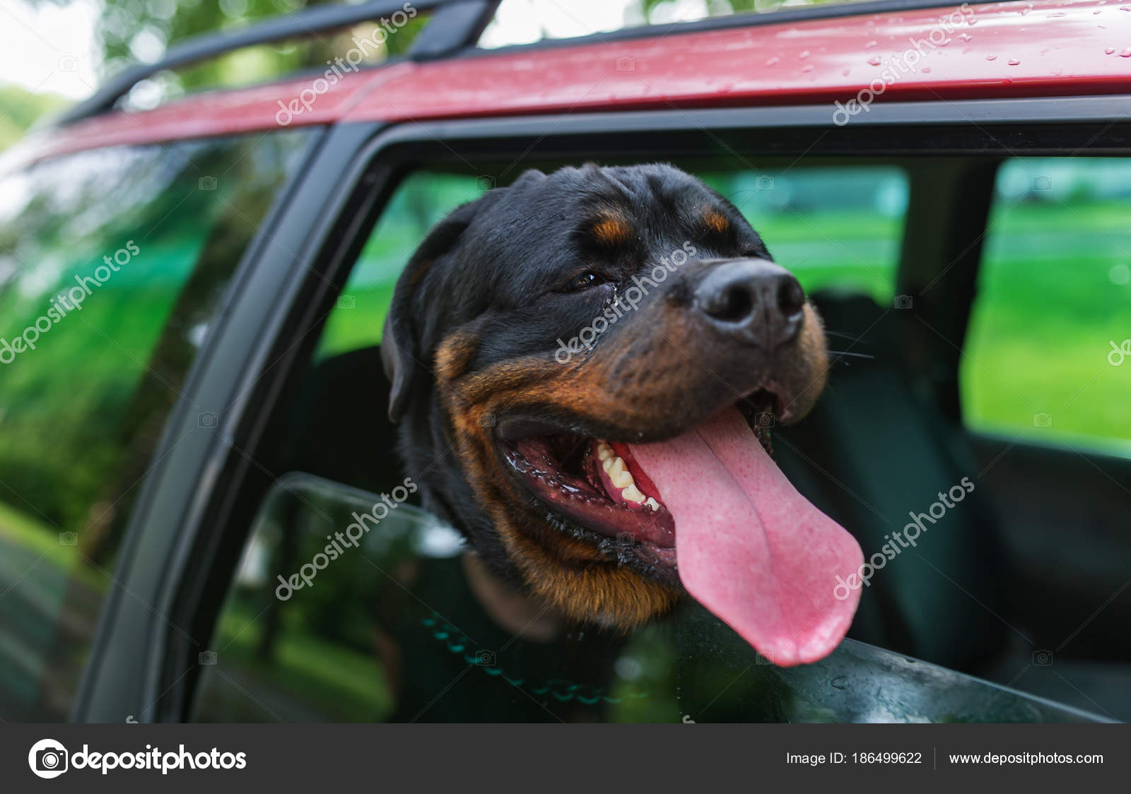 Rottweiler dog poking their head out the window of a moving car stock photo