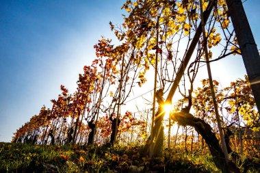 "Картина, постер, плакат, фотообои ""ряды винограда на закате картины природа"", артикул 128855360"