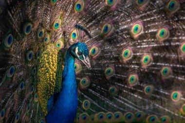 Gorgeous indian peafowl bird