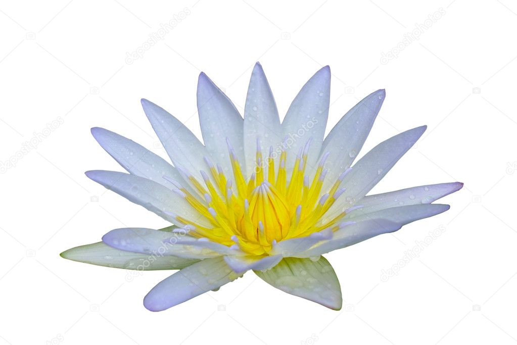 weißer lotusblume — Stockfoto © thawornnulove #127061176