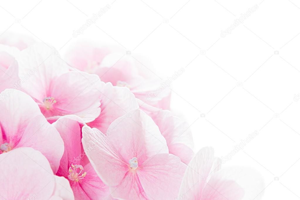 Blüte Hortensie - rosa Blume auf einem weißen Hintergrund ...