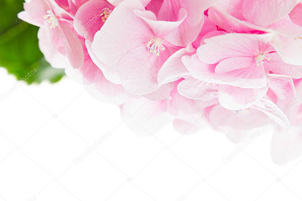 Blossom Hydrangea Pink Flower And Green Leaf On A White Background