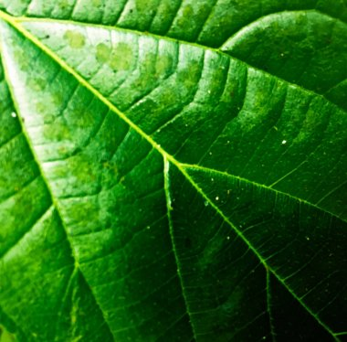 Green leaf texture background. Wallpaper for design, closeup view