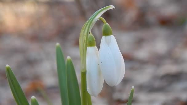 První jarní květy lesní sněženky Close-up