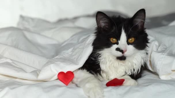 načechraná kočka leží v posteli s červeným srdcem. Pozdrav na Valentýna, Den všech milenců. Černá a bílá kočka na bílém lůžku při pohledu do kamery.
