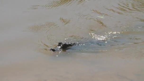 caiman crocodilus swimming in a pond french guiana