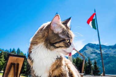 Maine Coon portrait in Aosta, Italy, during Summer