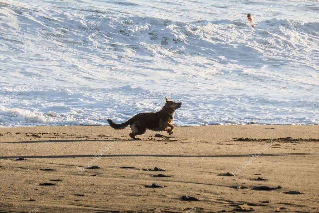 German sheperd silhouette playing on the beach, near seashore
