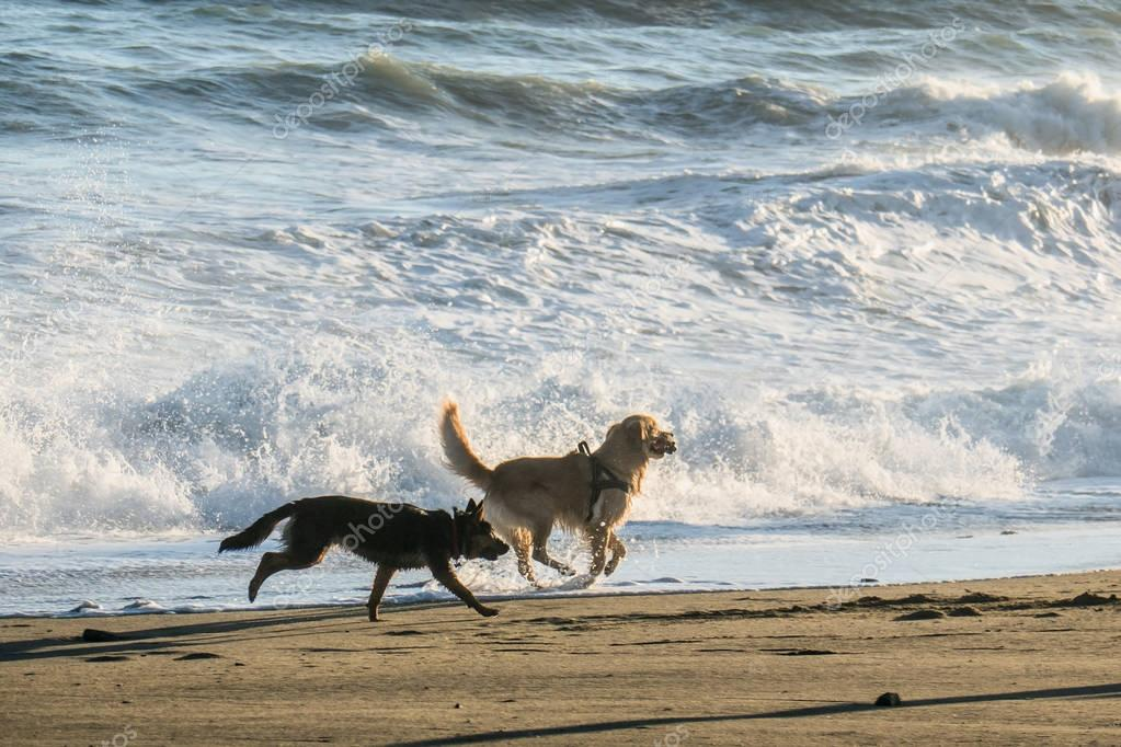 Happy dogs running and playing on the beach, near seashore