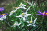 Beautiful and lovely edelweiss in north Italy