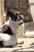Fekete-fehér francia bulldog a napfényben ült és nézett kamera