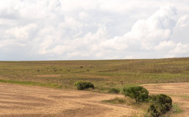 Pasture fields in southern Brazil. Native fields are formed by innumerable plant species, the vast majority of which have forage ability, mainly grasses and legumes