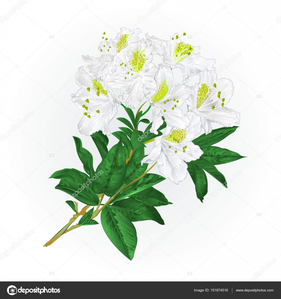 Branch White Flowers Rhododendron Vintage Vector Stock Vector