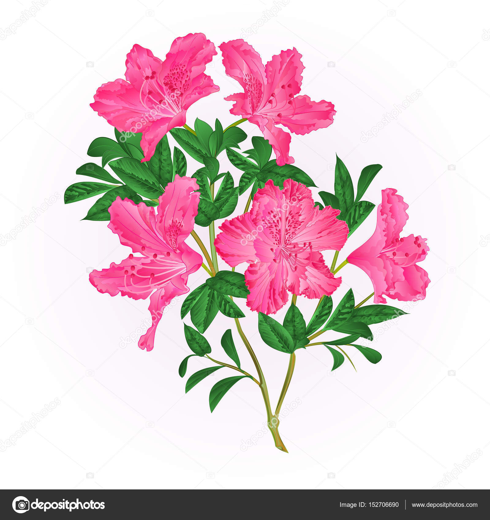 Pink flowers rhododendron twig with leaves mountain shrub vintage pink flowers rhododendron twig with leaves mountain shrub vintage hand draw vector stock vector mightylinksfo