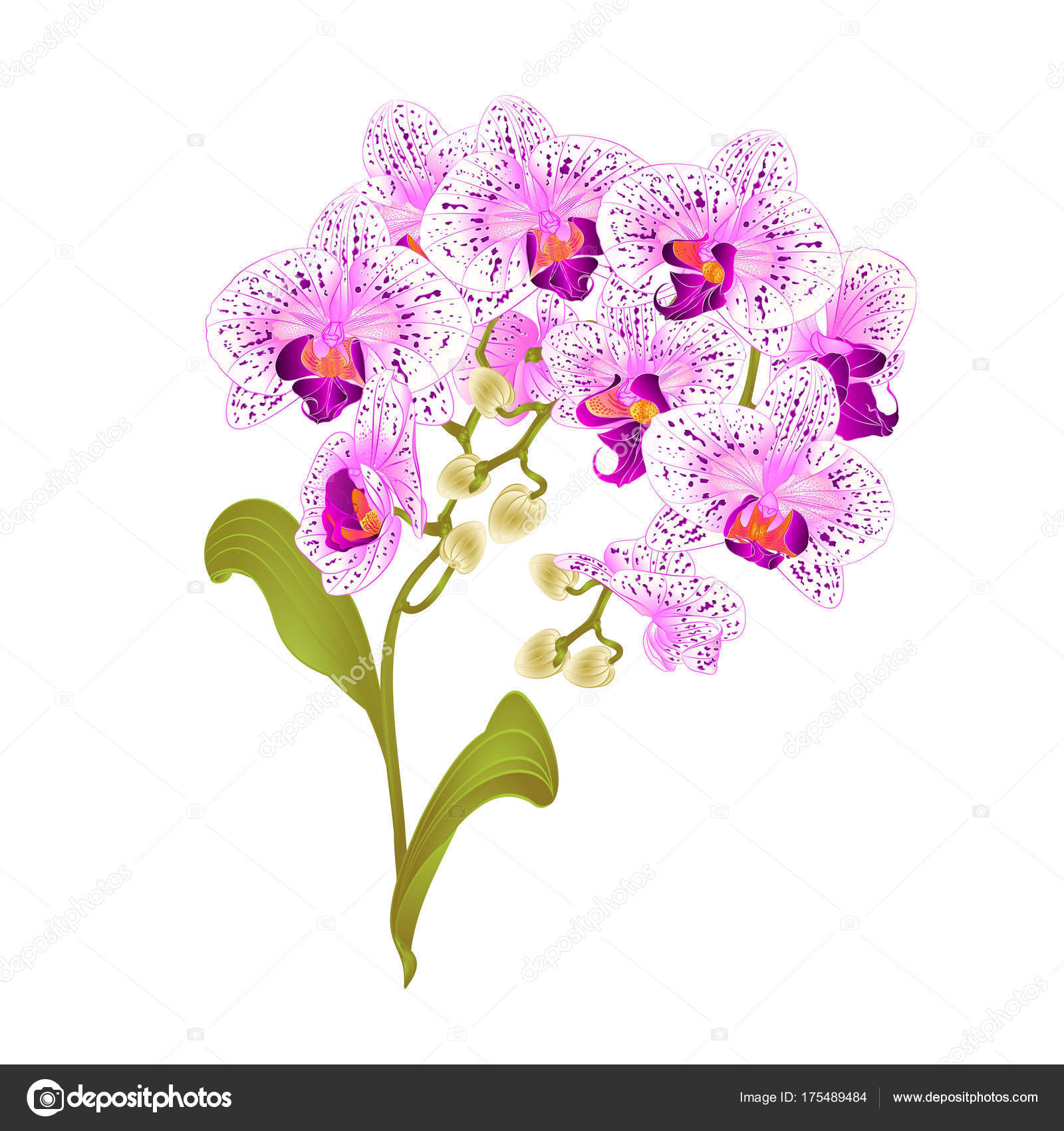Branches orchid phalaenopsis purple white flowers tropical plants branches orchid phalaenopsis purple and white flowers tropical plants green stem and buds and leaves vintage vector botanical illustration for design mightylinksfo