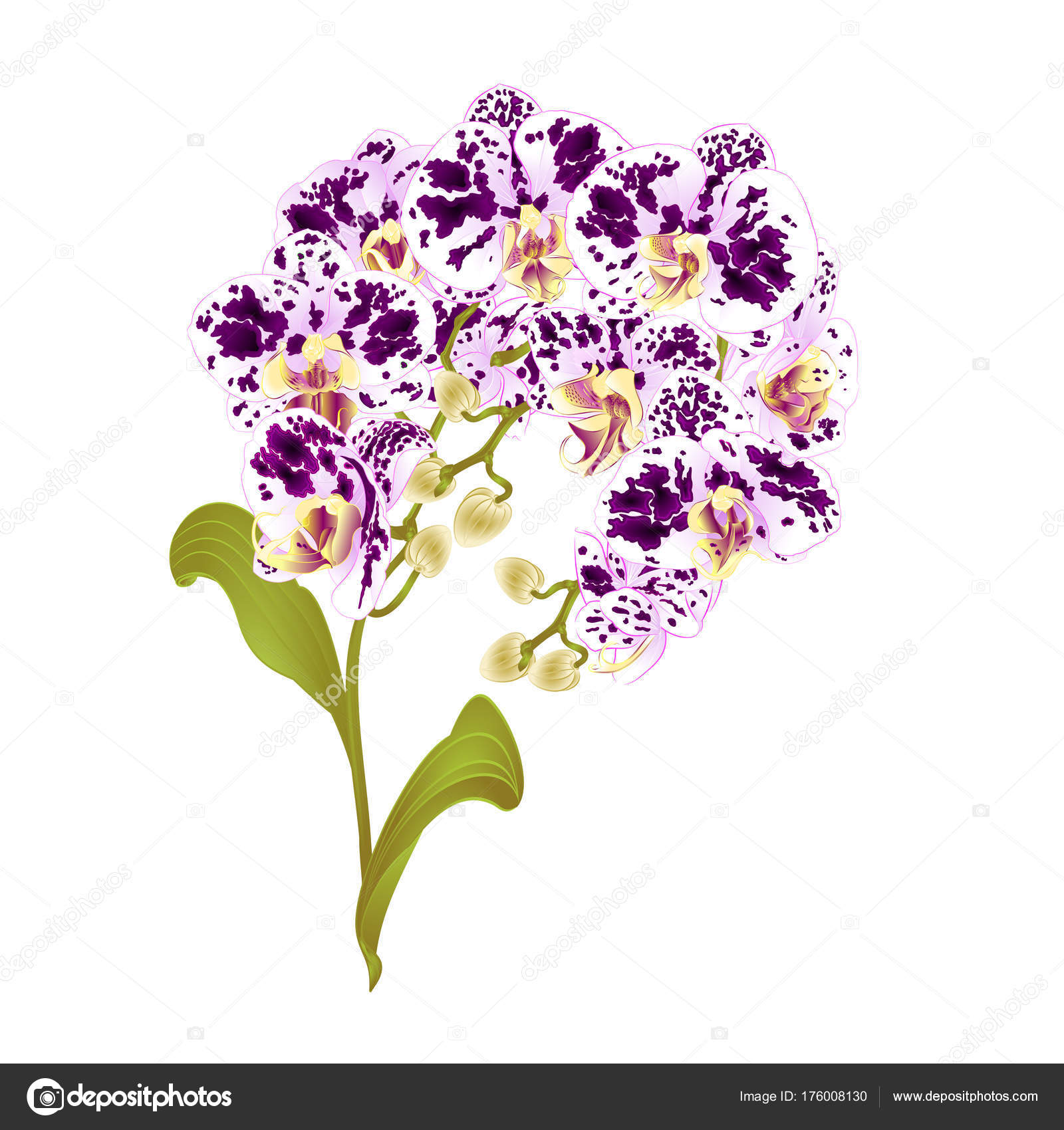 Branches orchid phalaenopsis spotted purple white flowers tropical branches orchid phalaenopsis spotted purple and white flowers tropical plants green stem and buds and leaves vintage vector botanical illustration for mightylinksfo