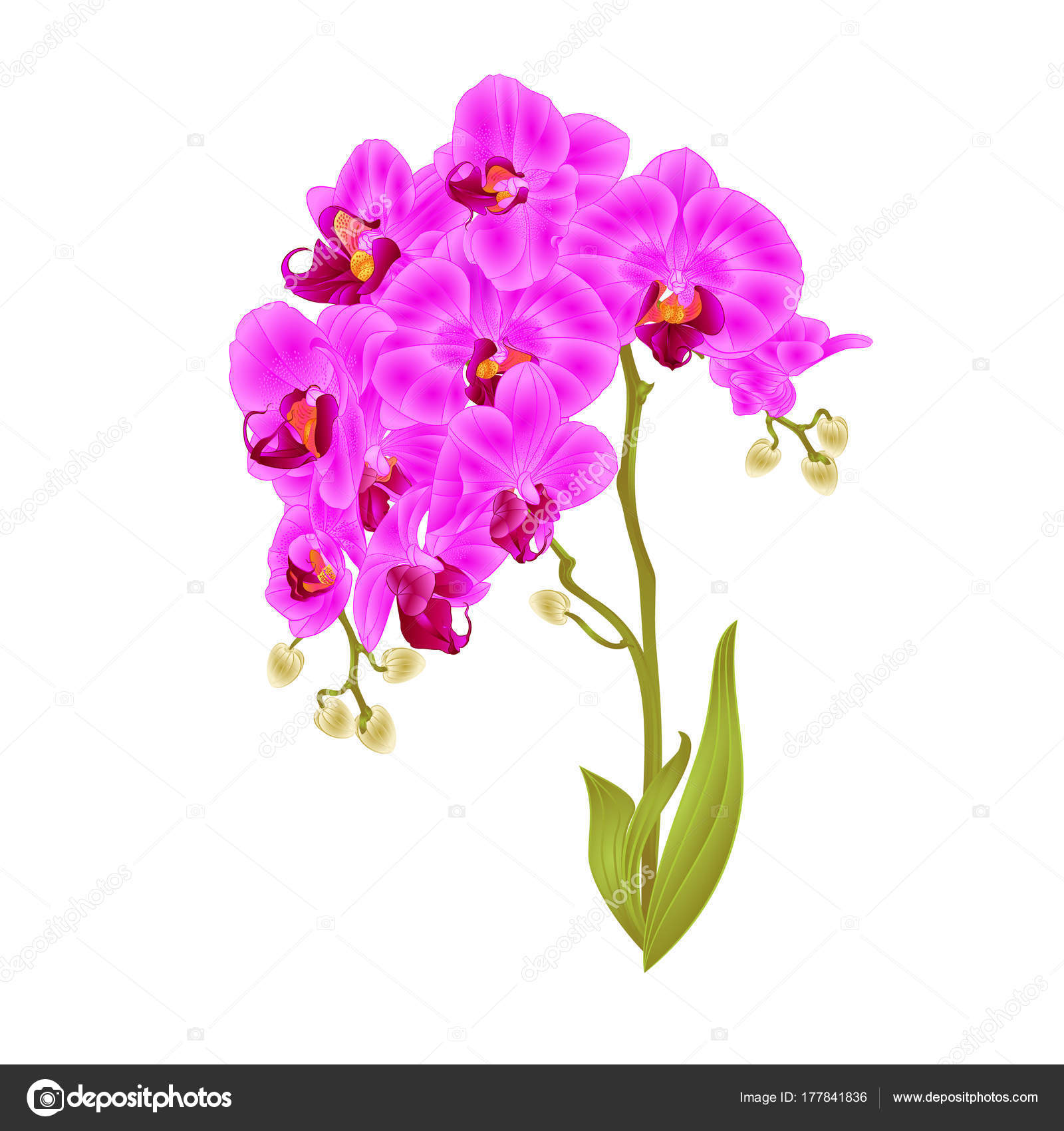 Branches orchid phalaenopsis purple flowers leaves tropical plants branches orchid phalaenopsis purple flowers and leaves tropical plants stem and buds on a white background vintage vector botanical illustration for design mightylinksfo