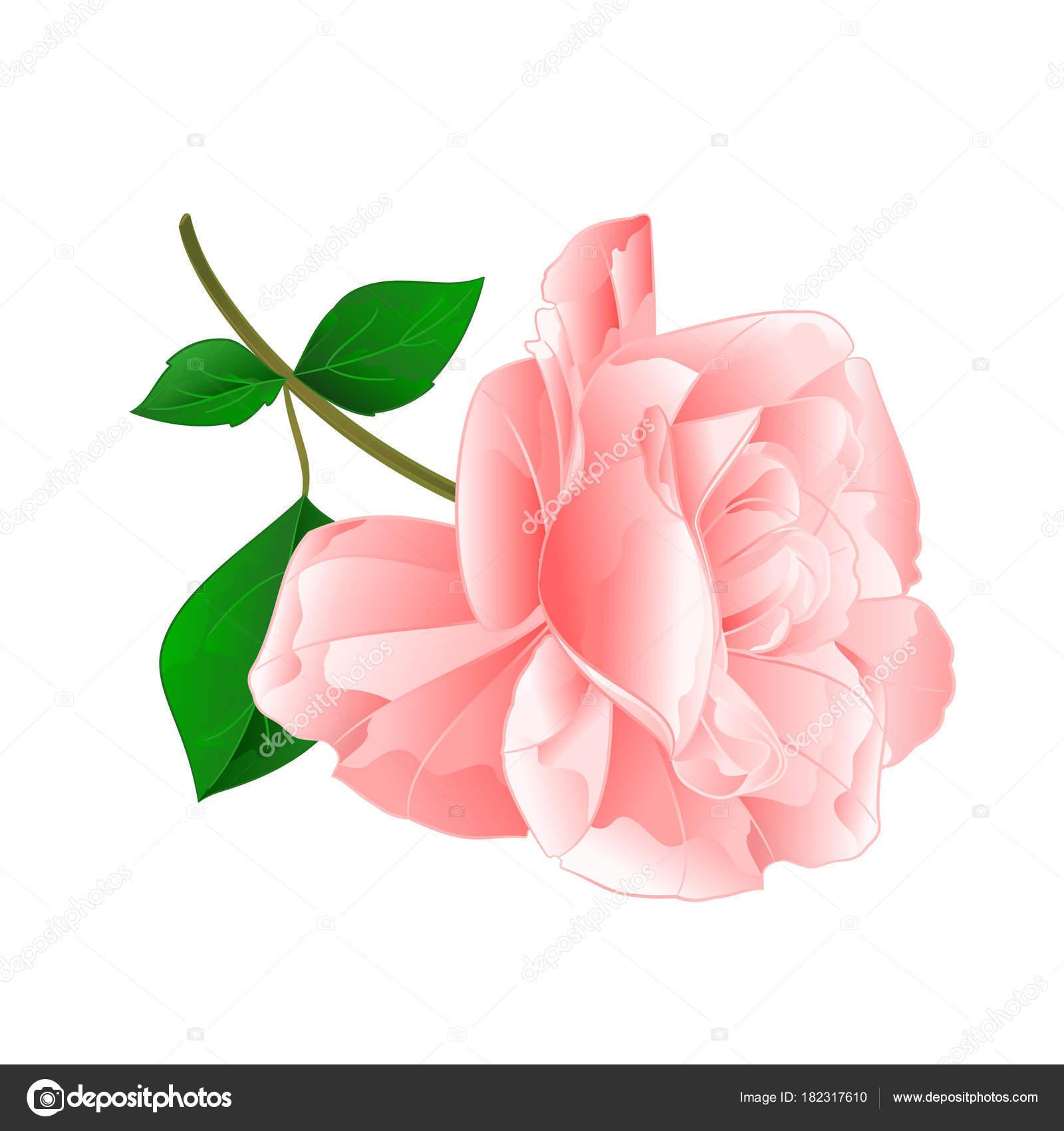 rosa flor rosa galho com folhas desenhar mão ilustração editável