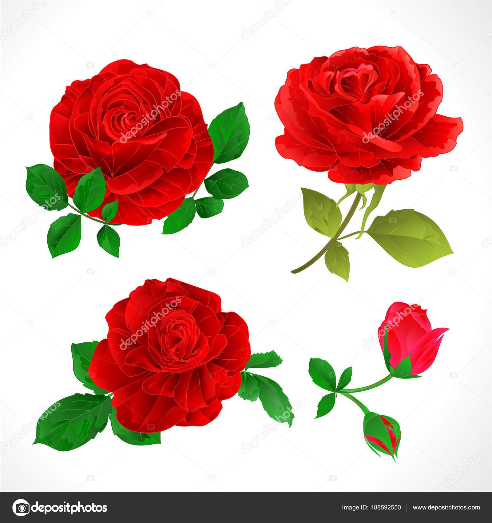 Dibujos Flores Rosas Rojas Rosas Rojas Con Cosecha Cogollos Hojas