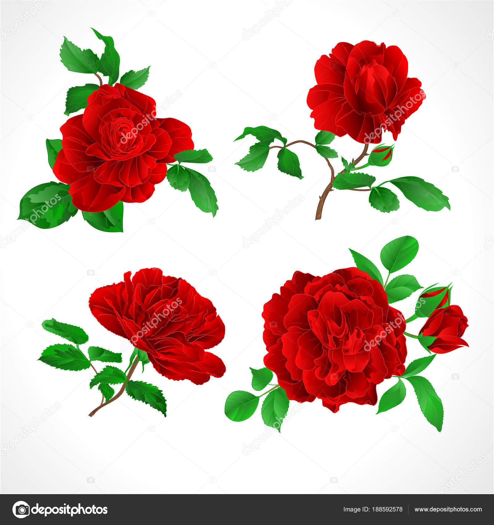 Rosas Rojas Para Calcar Rosas Rojas Con Cosecha Cogollos Hojas