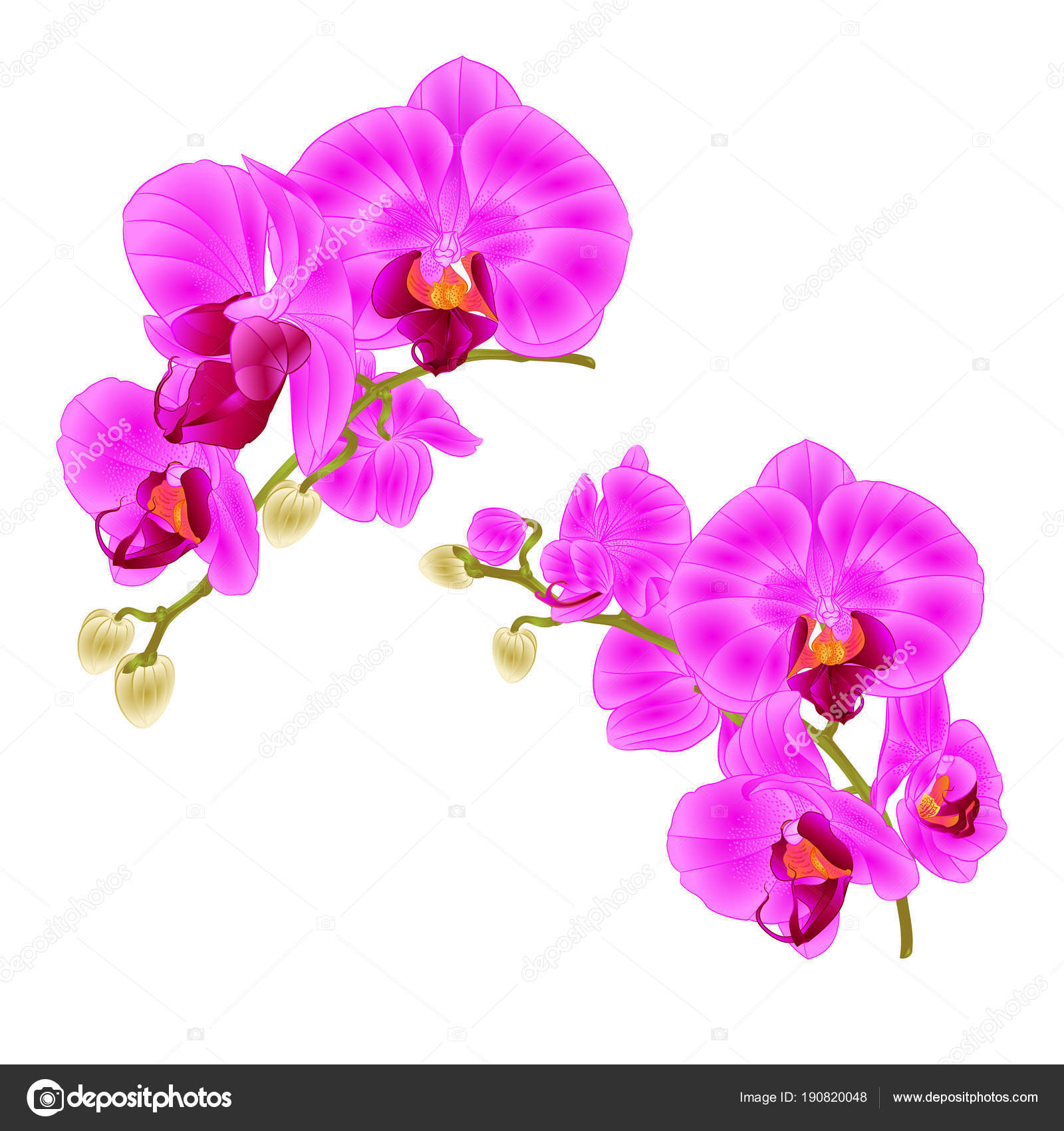 Branches Orchids Purple Flowers Tropical Plant Phalaenopsis White