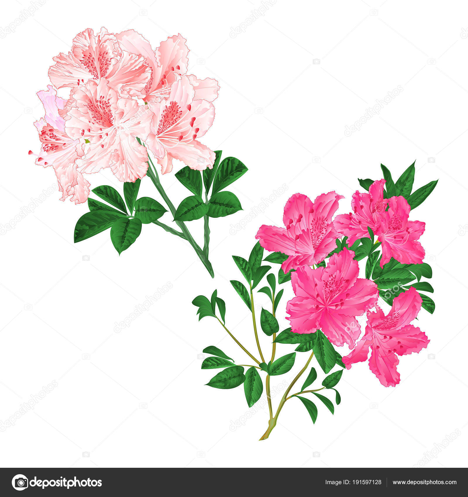 Branches light pink pink flowers rhododendrons mountain shrub white branches light pink and pink flowers rhododendrons mountain shrub on a white background set six vintage vector illustration editable hand draw vector by mightylinksfo