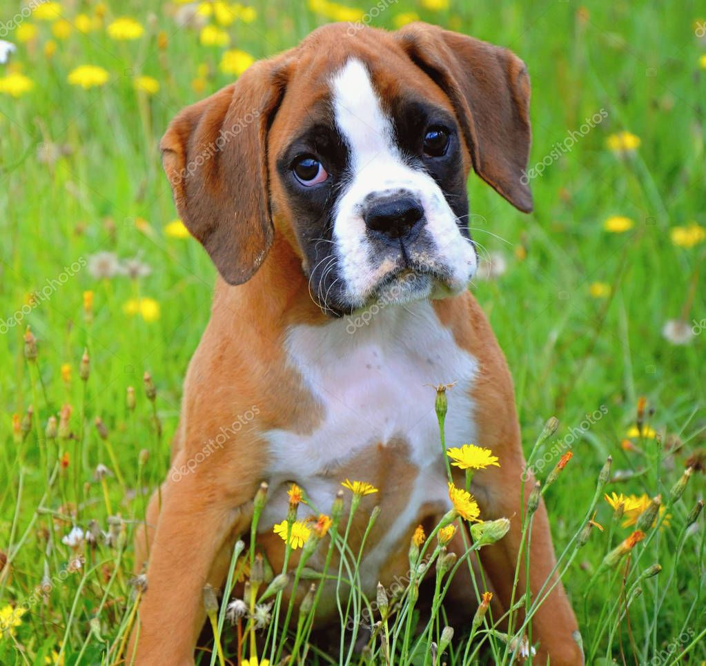 View Ad: Boxer Puppy for Sale near Poland