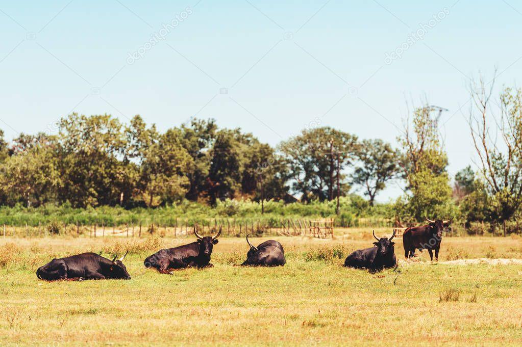 Bullfighting black bulls at Camargue Park on delta Rhone River, France